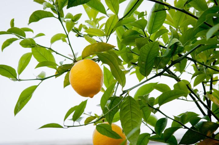 Bar-Ready Lemons