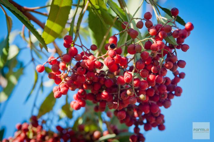 Toyon (Christmas Berry)