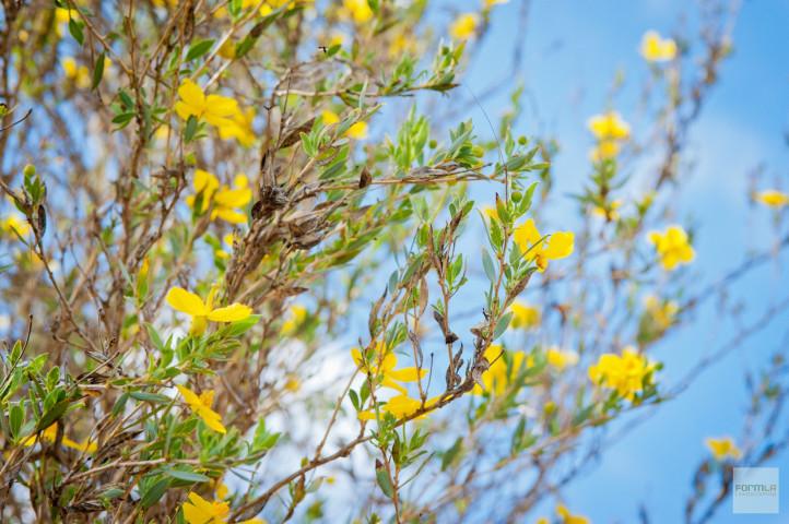 Island Bush Poppy