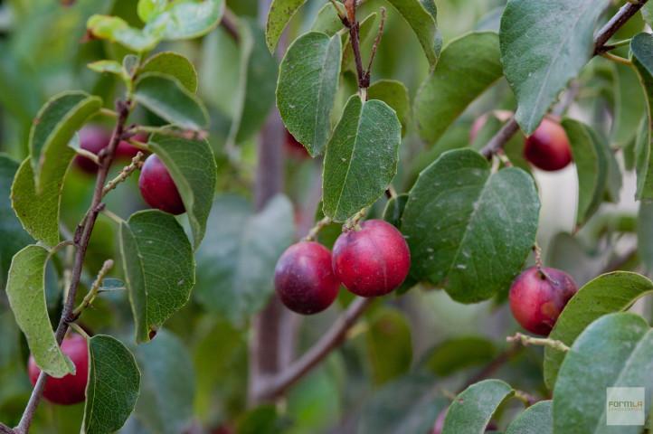 Catalina Cherry