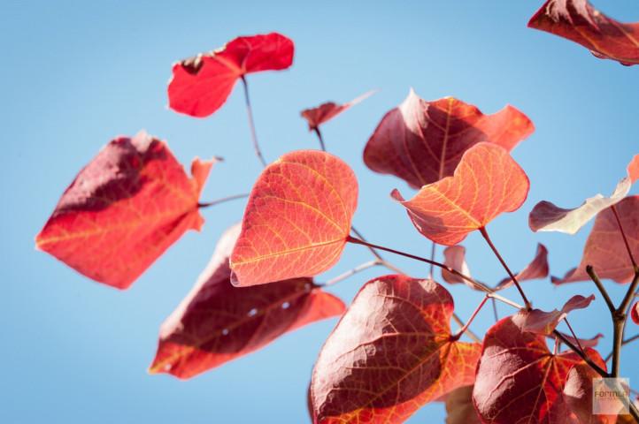 Western Redbud Color