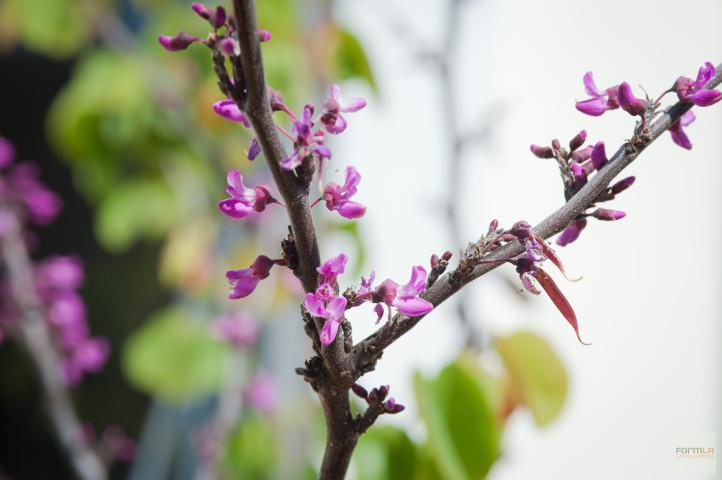 Western Redbud Blooms