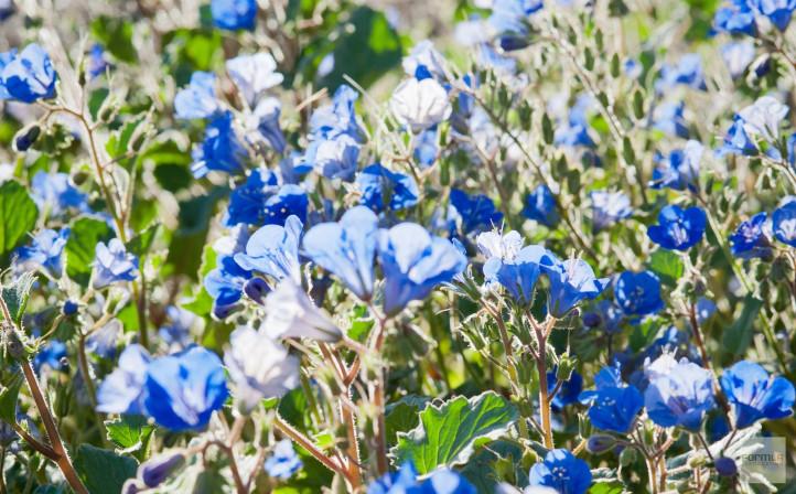 Desert Blue Bells