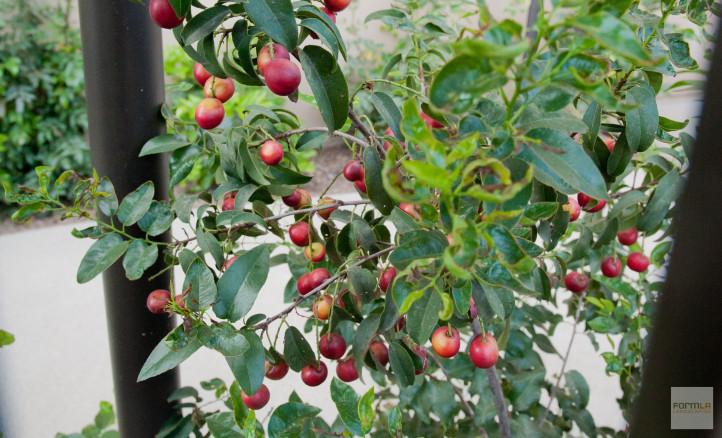Catalina Cherry Hedge
