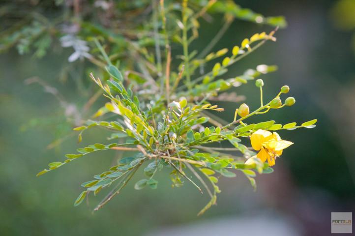 Palo Verde Tree Blooms