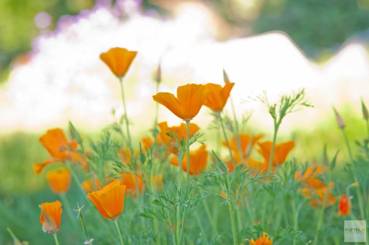 FormLA2019_Poppies_Aoyagi_LHP-250