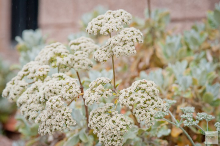 Saint Catherine's Lace