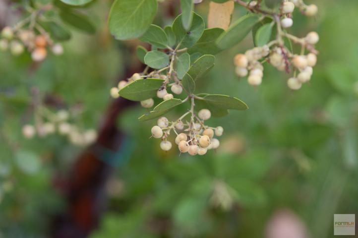 Edible Manzanita Berries