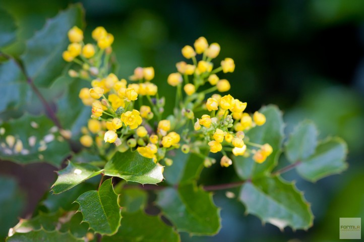 Oregon Grape Blooms