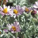 lessingia_filaginifolia_Silver_carpet300