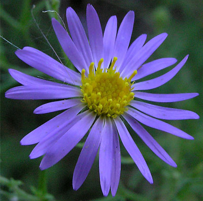 Aster Chilensis – Bird and Butterfly Feeders