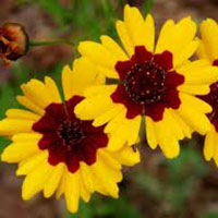 A great alternative to Coreopsis is the native California Sunflower.