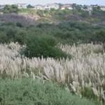CAL-IPC san diego county pampas