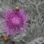 FormLA2015_Descanso_Centaurea gymnocarpa