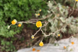 FormLA2016_Sanchez_Blooms_YellowDessertGlobemallow