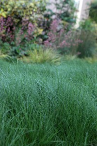 Emerald green Red fescue makes a beautiful, velvety lawn or wavy meadow.