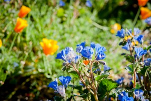 Bold blue Phacelia campanularia against a background of iconic California poppies, our state flower.